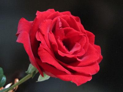 玫瑰 铺天盖地/一年一度的3.8,照例在商家铺天盖地的热情促销中来到了。